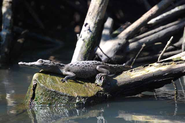 Tenacatita baby crocodile